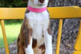 Addison, one of the puppies from Texas and Louisiana scheduled to be available for adoption in Maryland this weekend. (Courtesy Last Chance Animal Rescue)