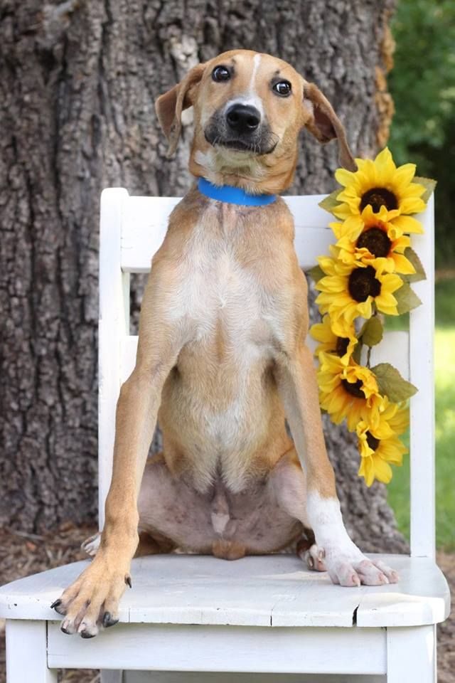 Angus, one of the puppies from Texas and Louisiana available for adoption this weekend. (Courtesy Last Chance Animal Rescue)