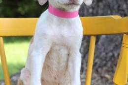 Annetta, one of the puppies from Texas and Louisiana scheduled to be available for adoption in Maryland this weekend. (Courtesy Last Chance Animal Rescue)