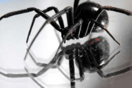 A black widow spider walks on a mirror in a garage at a home in Great Falls, Mont., on Monday, Nov. 5, 2007. (AP Photo/Great Falls Tribune, Robin Loznak)
