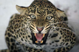 A panther reacts from its enclosure at the zoo in Ahmadabad, India, Tuesday, May 5, 2009. (AP Photo/Ajit Solanki)