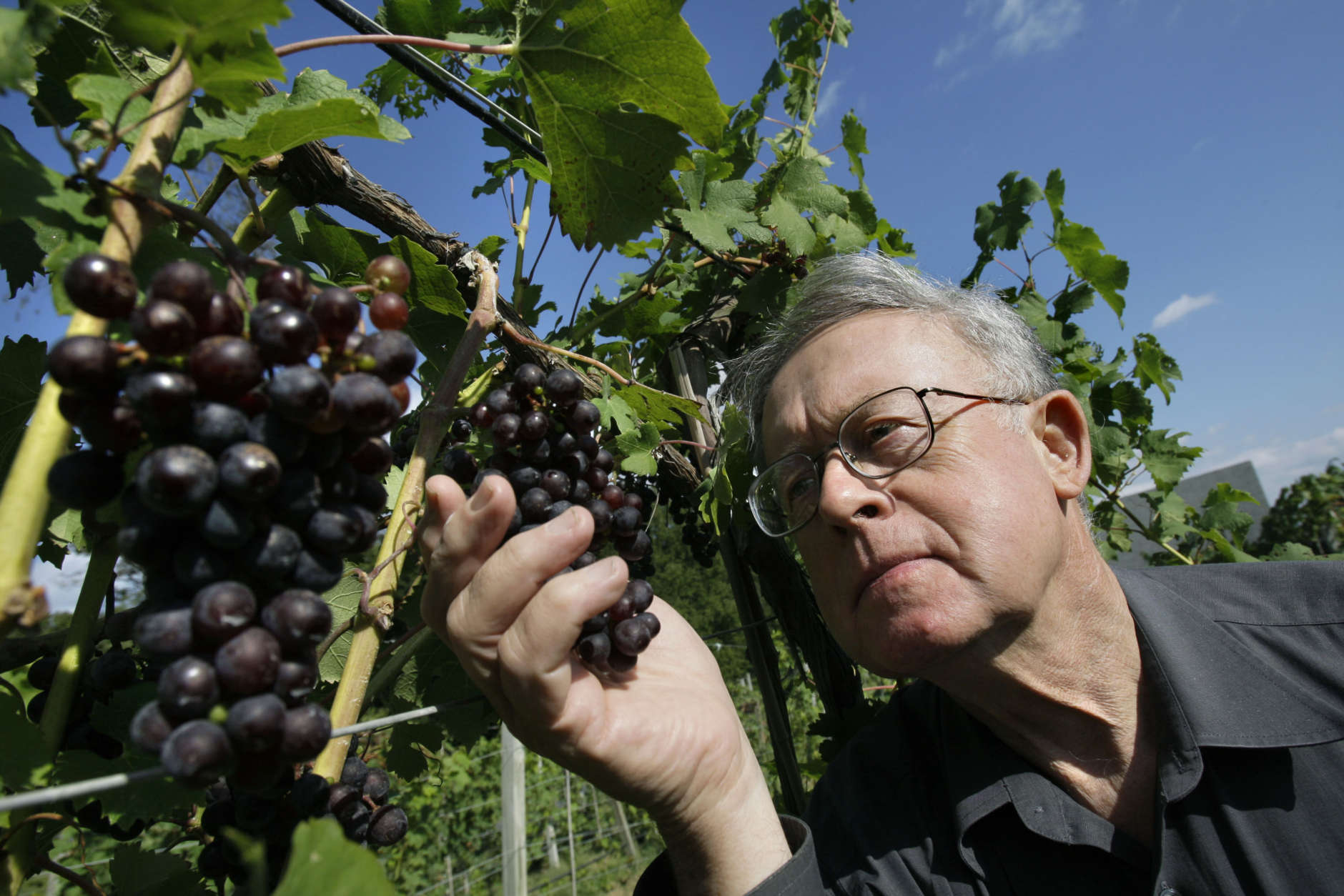 Kip Kumler, owner of Turtle Creek Winery and chairman of the Massachusetts Farm Winery and Growers Association shows Cabernet Franc grapes at his winery in Lincoln, Mass. Friday, Sept. 18, 2009. Kumler and his group, with the support of state agriculture officials, are pushing to change state law to permit wine to be sold at the roughly 200 farmers' markets that are held each week in Massachusetts. (AP Photo/Elise Amendola)