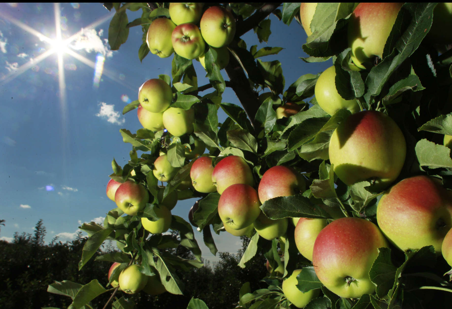 In this Tuesday, Aug. 26, 2014 photo, apples begin to ripen at Carter Hill Orchard in Concord, N.H. Northern New England apple growers are expecting a decent crop but not as good as last year's bumper yield. (AP Photo/Jim Cole)