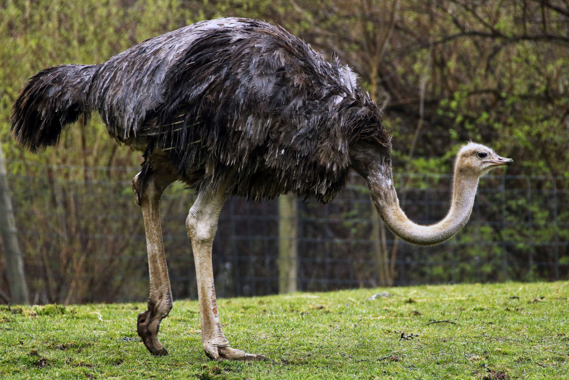 This is an Ostrich on display at the Pittsburgh Zoo in Pittsburgh, Tuesday, March 28, 2017. (AP Photo/Gene J. Puskar)