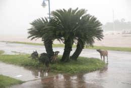 Dogs take refuge from the rain as Hurricane Irma makes its entry into Samana, Dominican Republic, Thursday, Sept. 7, 2017. (AP Photo/Tatiana Fernandez)