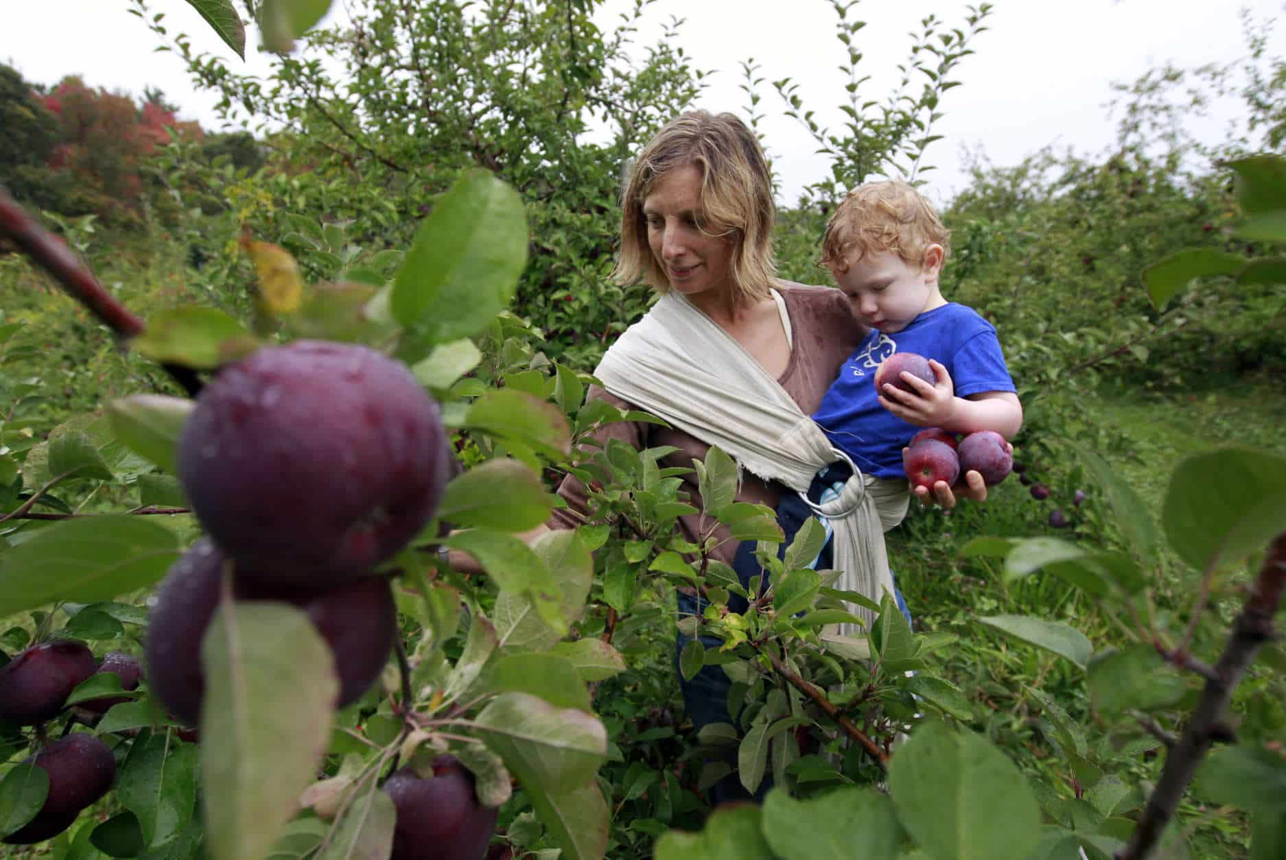 Hilary Graham, of Arlington, Mass., center, picks apples while holding her two-year-old son Christopher at Carlson Orchards, in Harvard, Mass., Tuesday, Oct. 2, 2012.  Many orchards across New England are facing shortages after a warm spring and late April freeze killed early blossoms. (AP Photo/Steven Senne)