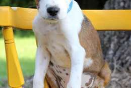 Austin, one of the puppies from Texas and Louisiana scheduled to be available for adoption in Maryland this weekend. (Courtesy Last Chance Animal Rescue)