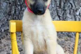 Canton, one of the puppies from Texas and Louisiana scheduled to be available for adoption in Maryland this weekend. (Courtesy Last Chance Animal Rescue)