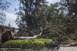 Boys play on a fallen tree after the passing of Hurricane Irma in Havana, Cuba, Monday, Sept. 11, 2017. Cuban state media reported 10 deaths despite the country's usually rigorous disaster preparations. More than 1 million were evacuated from flood-prone areas. (AP Photo/Desmond Boylan)