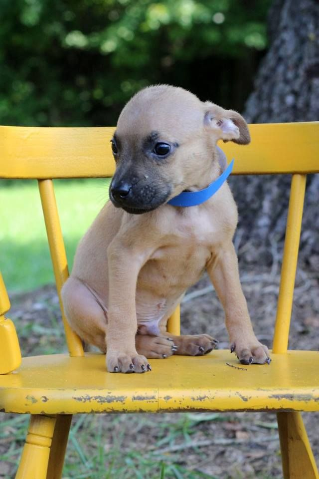 Itasca, one of the puppies from Texas and Louisiana scheduled to be available for adoption in Maryland this weekend. (Courtesy Last Chance Animal Rescue)