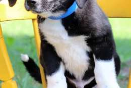 Laredo, one of the puppies from Texas and Louisiana scheduled to be available for adoption in Maryland this weekend. (Courtesy Last Chance Animal Rescue)