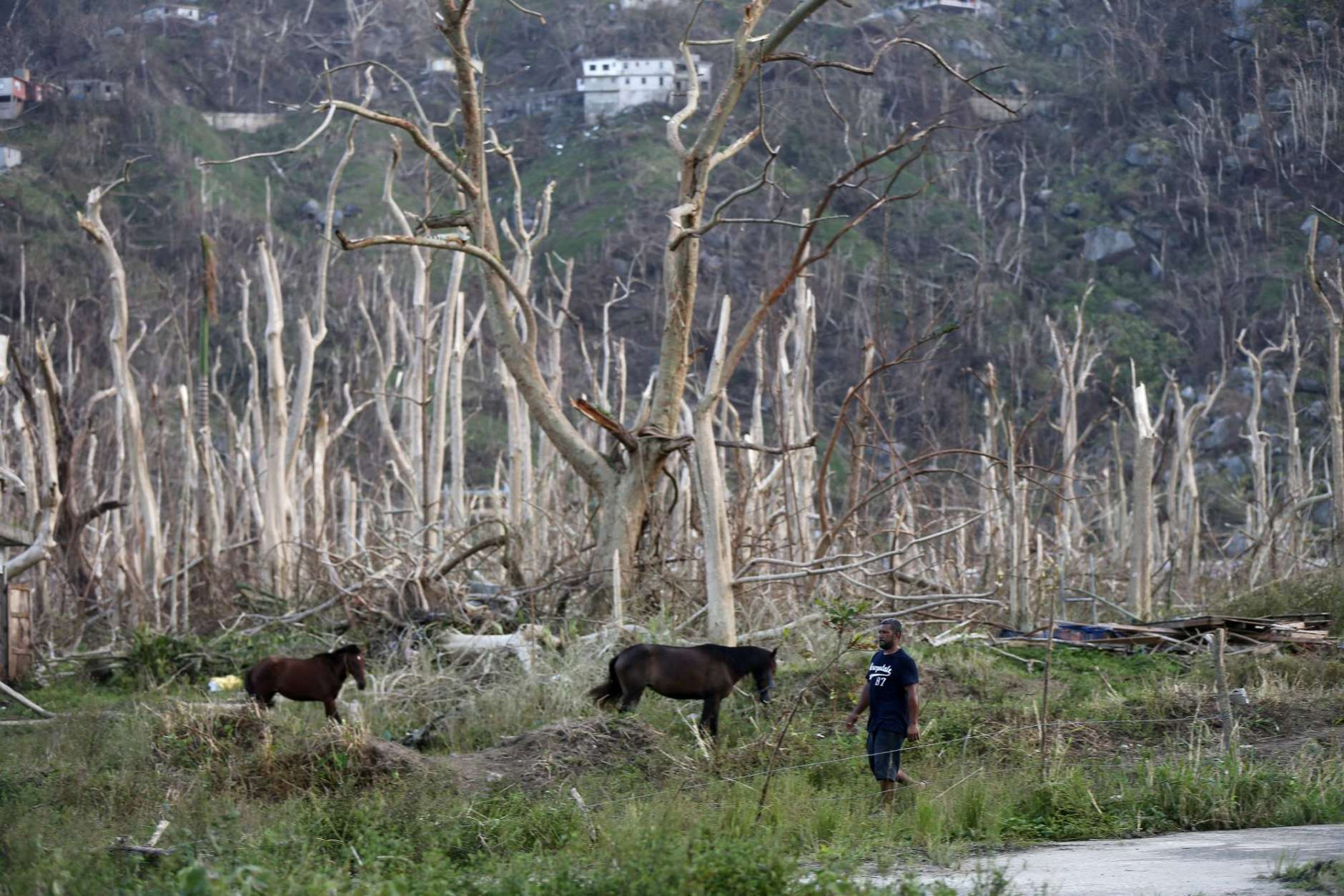 A man walks past horses and damaged trees in the aftermath of Hurricane Maria, in Yabucoa, Puerto Rico, Tuesday, Sept. 26, 2017. Governor Ricardo Rossello and Resident Commissioner Jennifer Gonzalez, the island's representative in Congress, have said they intend to seek more than a billion in federal assistance and they have praised the response to the disaster by President Donald Trump, who plans to visit Puerto Rico next week, as well as FEMA Administrator Brock Long.  (AP Photo/Gerald Herbert)