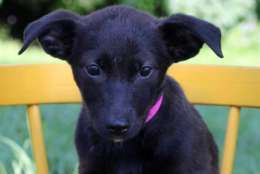 Smokey, one of the puppies from Texas and Louisiana available for adoption this weekend. (Courtesy Last Chance Animal Rescue)