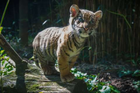 National Zoo sends tiger cub to San Diego
