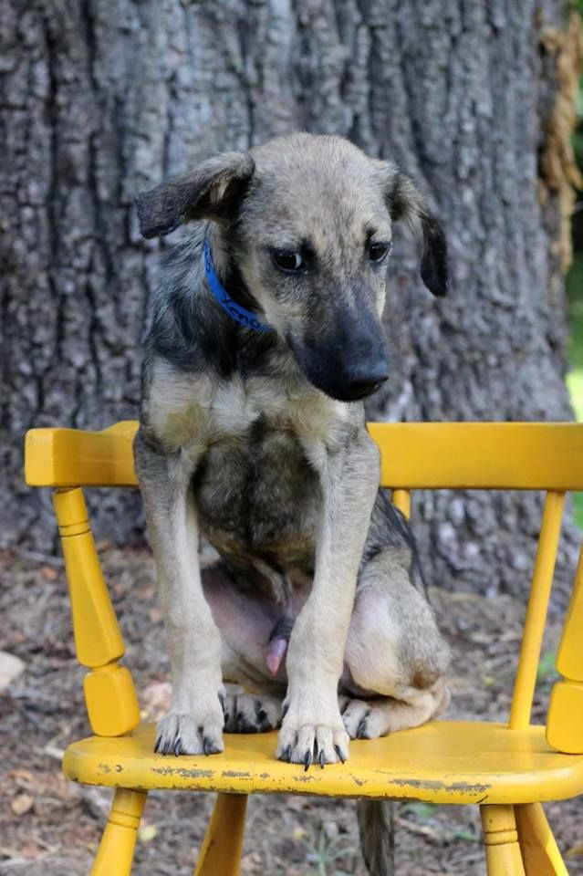 Xeno, one of the puppies from Texas and Louisiana scheduled to be available for adoption in Maryland this weekend. (Courtesy Last Chance Animal Rescue)