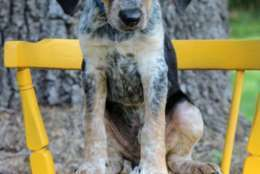 Zebra, one of the puppies from Texas and Louisiana available for adoption in Maryland this weekend. (Courtesy Last Chance Animal Rescue)