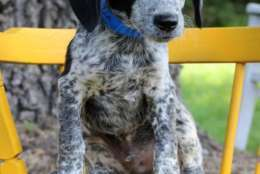 Zin, one of the puppies from Texas and Louisiana scheduled to be available for adoption in Maryland this weekend. (Courtesy Last Chance Animal Rescue)