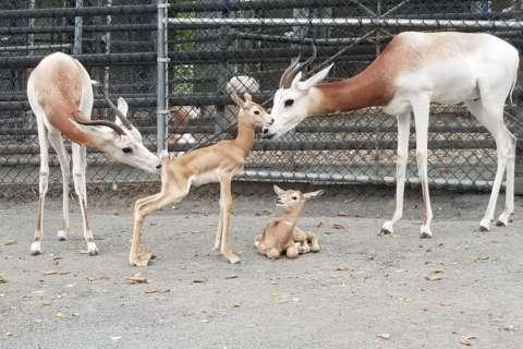 Smithsonian welcomes new dama gazelle calves born at zoo
