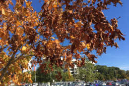 """Lack of rain speeds up the process of trees dropping their leaves, as they quickly change from green to yellow to brown,"" said John Seiler, professor of tree biology at Virginia Tech. (Courtesy Bill Foy/Virginia Tech)"