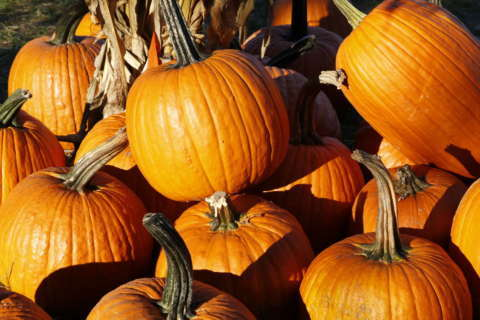 After Halloween, turn your pumpkins to 'gold' in Prince George's Co.