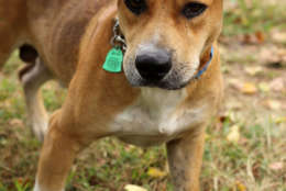 Belo, one of the dogs rescued from Puerto Rico. (Courtesy Last Chance Animal Rescue)