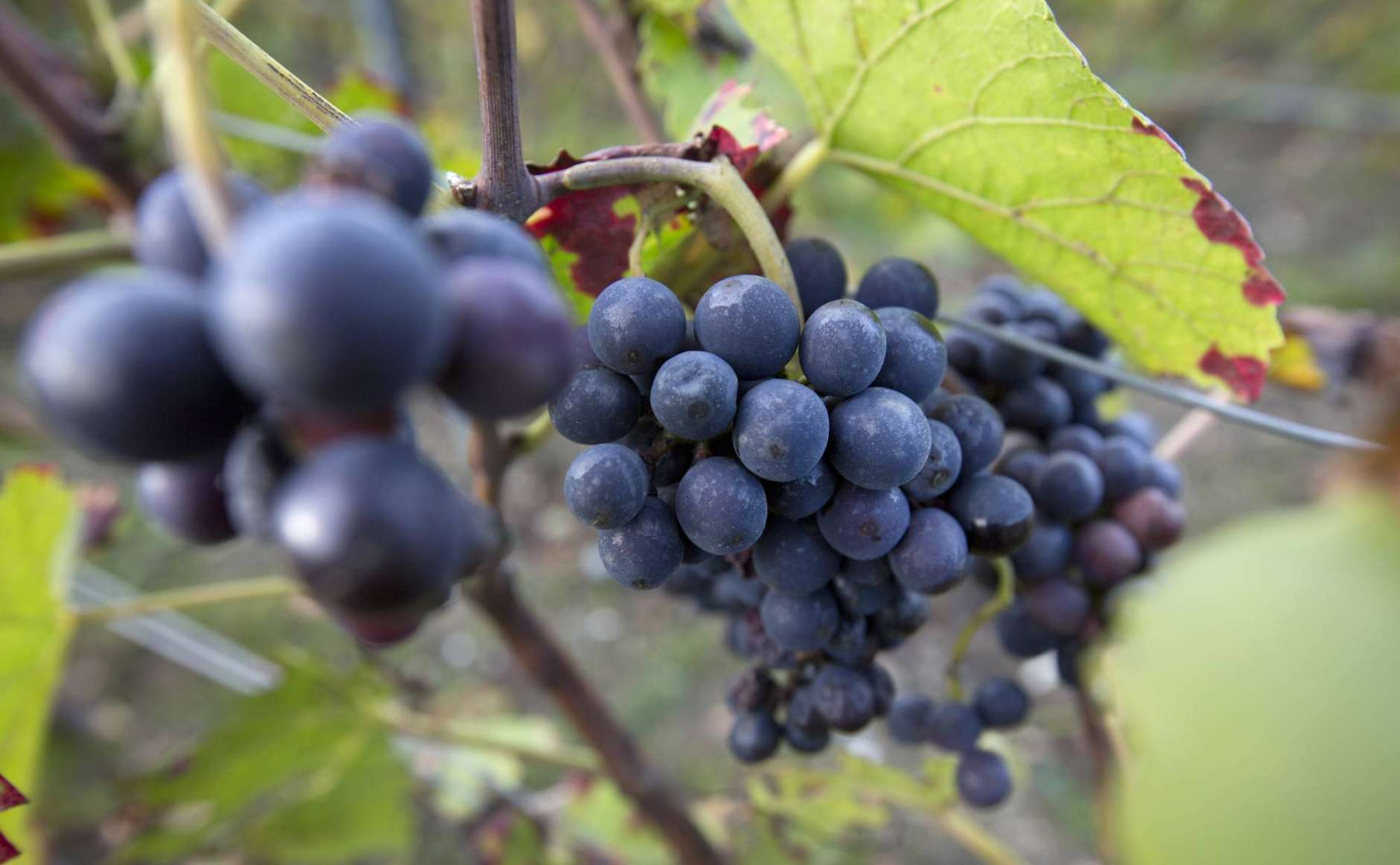 FILE - In this Oct. 15, 2014 file photo, grapes grow on the vine on a vineyard in Epernay, France. The EU's Copa-Cogeca farm union announced Tuesday, Oct. 10, 2017 that spring hail and frost, combined with sustained drought during the summer, will force wine production down to 145 million hectoliters, a level not seen since 1981. (AP Photo/Virginia Mayo, File)