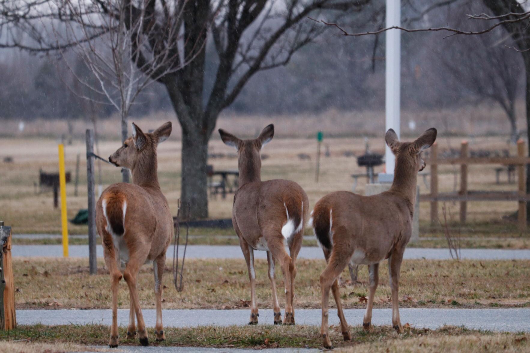As deer enter mating season, drivers should be more aware of