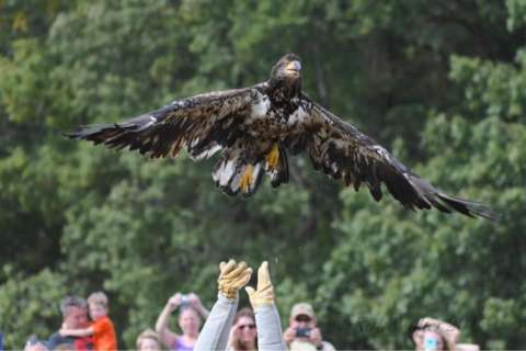 Rescued bald eagle takes flight after 5 month recovery