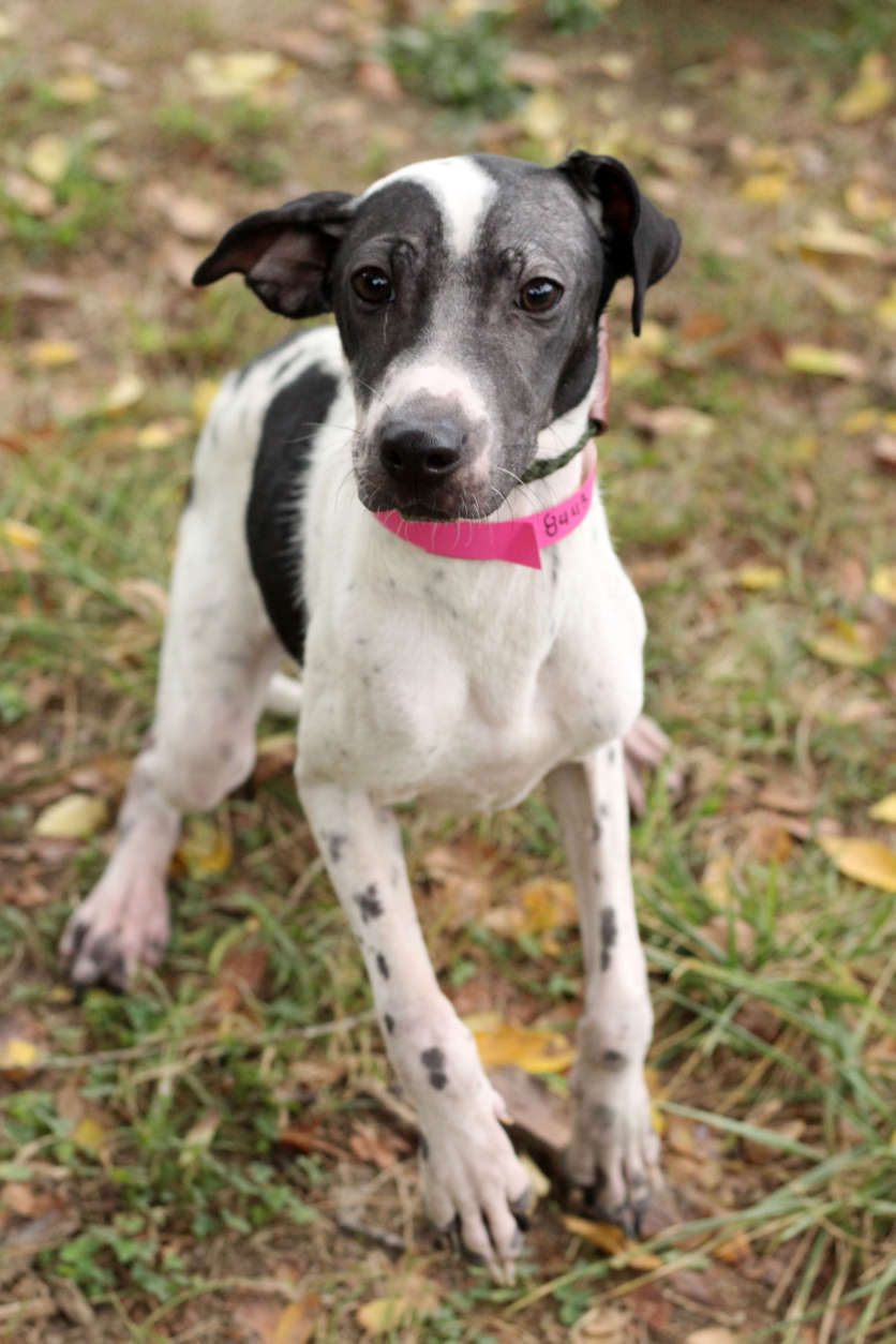 Lexus, one of the dogs rescued from Puerto Rico. (Courtesy Last Chance Animal Rescue)