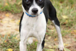 Maleo, one of the dogs rescued from Puerto Rico. (Courtesy Last Chance Animal Rescue)