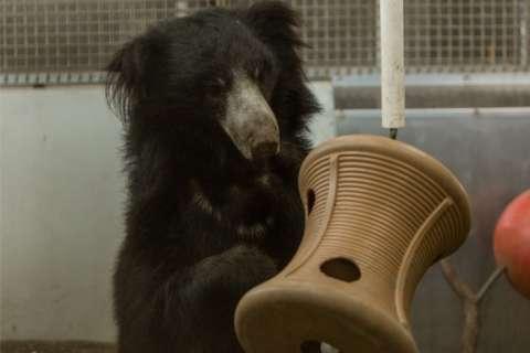 Sloth bear, 2, awaiting debut at National Zoo