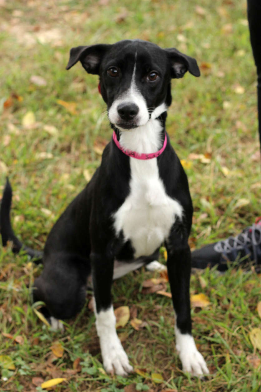 Suzie, one of the dogs rescued from Puerto Rico. (Courtesy Last Chance Animal Rescue)