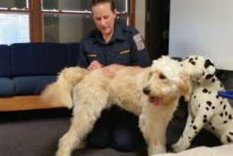 The Fairfax County Fire Department's newest resident is a 10-month-old Golden doodle named Wally. (WTOP/Kathy Stewart)