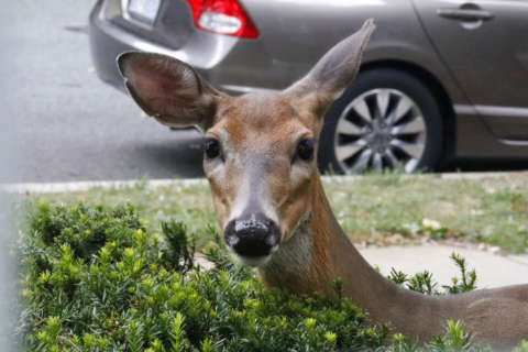 Autumn's unique road hazard: It's the time of year for deer