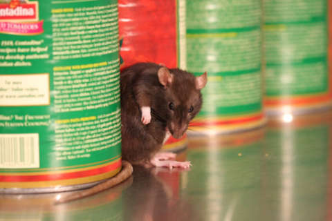 DC is one of the most rat-infested cities nationwide