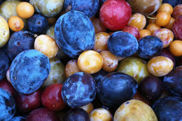Through grafting, Van Aken is been able to grow over 40 varieties of stone fruits — such as plums, apricots and cherries — on an individual tree. (Courtesy Sam Van Aken)