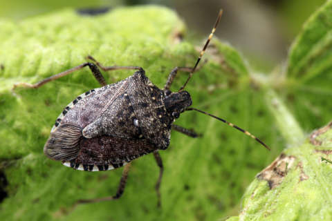 Stink bugs invade homes; advice to keep them out