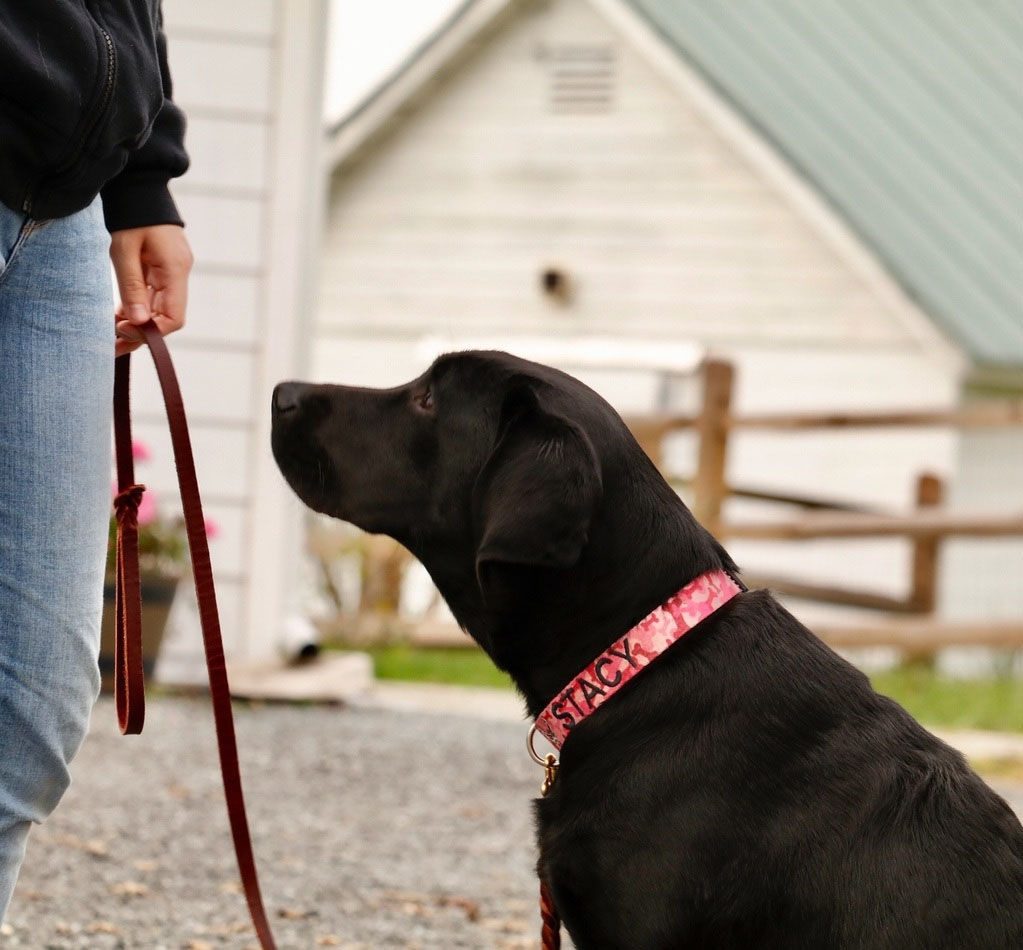 Stacy, a service dog in training at Warrior Canine Connection, showing focus. (WTOP/Kate Ryan)