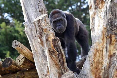 Critically endangered gorilla at Smithsonian's zoo is expecting