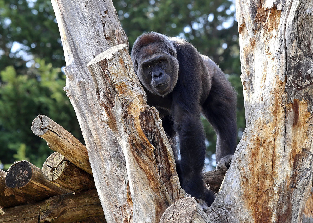 """The zoo is calling the birth from 15-year-old Calaya, a western lowland gorilla, """"highly anticipated."""" Western lowland gorillas are listed as critically endangered due to poaching and disease. (Photo Credit: Ann Batdorf, Smithsonian's National Zoo)"""