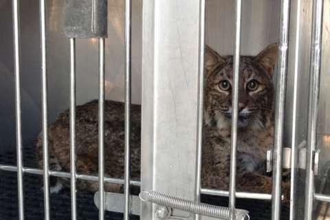 Despite some struggles, bobcat struck by car in Va. still 'feisty'