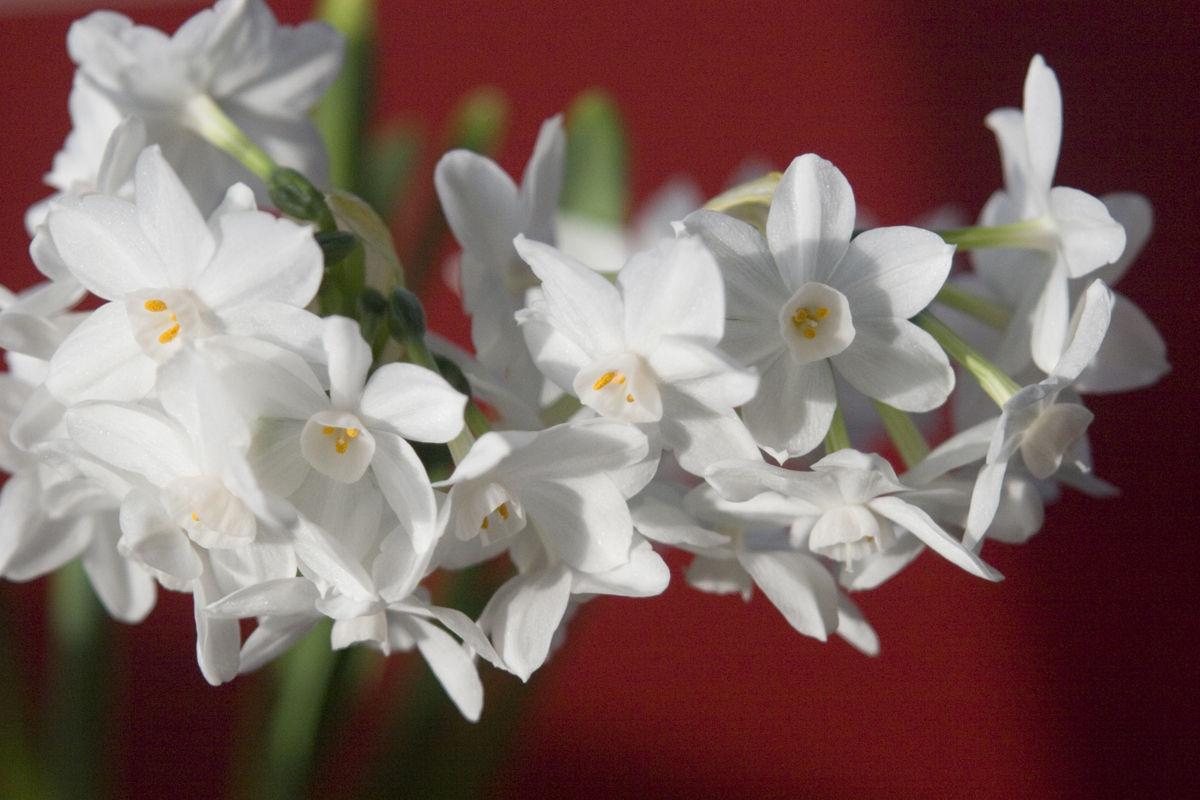 Paperwhites - Narcissus on Red horizontal (Thinkstock)