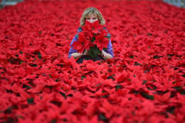 LOANHEAD, SCOTLAND - NOVEMBER 23:  Carolyn Spray holds one of her many Poinsettia plants ready to be dispatched for the Christmas season on November 23, 2015 in Loanhead, Scotland. The garden center grows around 100,000 poinsettias, a traditional Christmas house plant.   The Midlothian business supplies a host of garden centres and supermarkets across Scotland and the north of England in time for Christmas.  (Photo by Jeff J Mitchell/Getty Images)