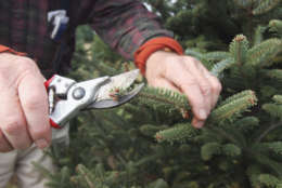 ** ADVANCE FOR WEEKEND NOV. 27-28 ** Christmas tree farmer Eric Sundback hand prunes a Douglas Fir tree Sunday, Nov. 21, 2004, at his farm in Shepherdstown, W.Va. Sundback has a unique way of pruning trees that lets the branches grow thinner than the typical machine sheered trees, allowing the deocorations to hang more free. ( AP Photo/Jason Turner )