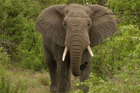 Trump administration to reverse ban on elephant trophies from Africa