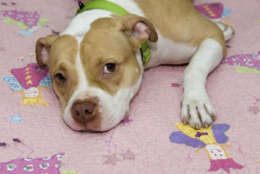 Pet of the Week: Paige, a two-year-old bull dog mix who's a real cutie pie. (Courtesy Humane Rescue Alliance)