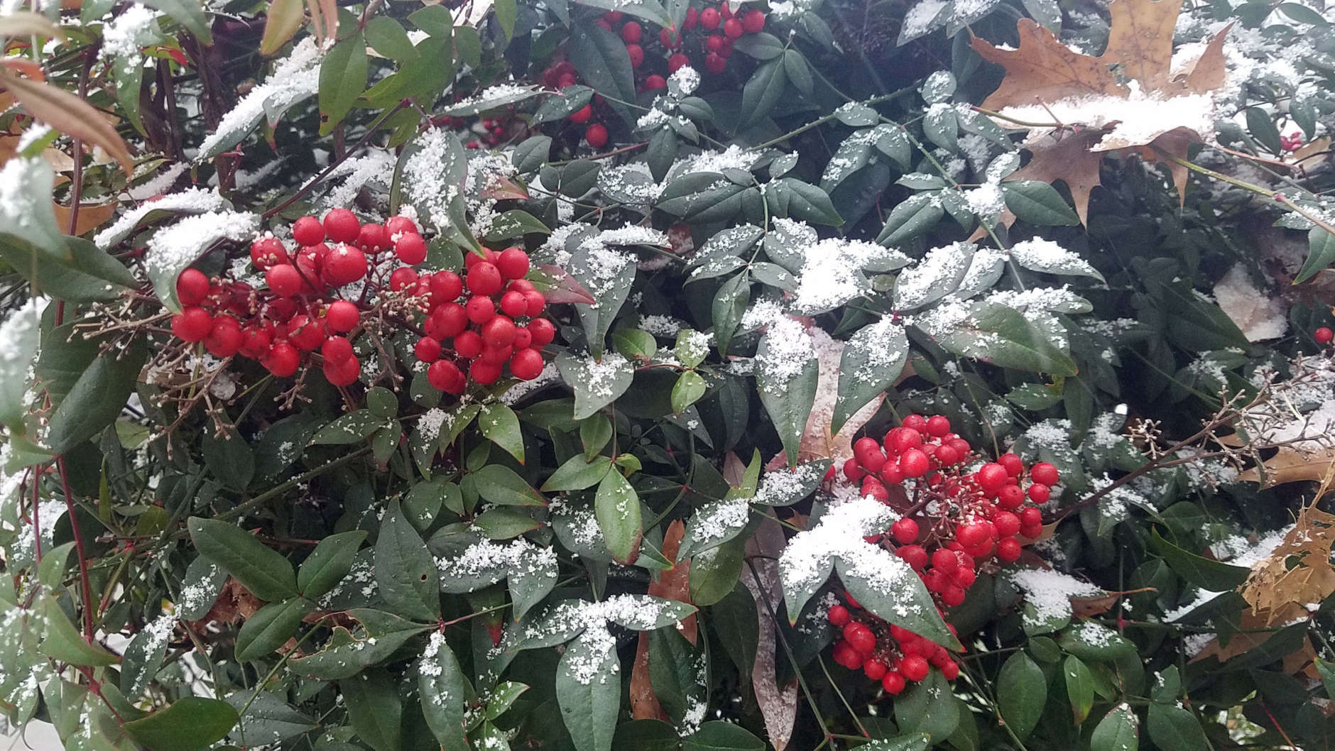 Snow collects on bushes outside the WTOP newsroom in northwest D.C. (WTOP/William Vitka)
