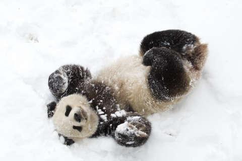 Video: National Zoo's giant panda Mei Xiang plays in snow
