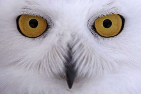 Snowy owls swap the Arctic for the National Mall