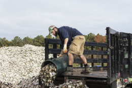 Shell Recycling Alliance driver Wayne Witzke dumps a can of oyster shell Nov. 9, 2017, at Oyster Recovery Partnership's shell pile in Grasonville, Md. Witzke and his colleagues recycle shell to bolster state and federally sponsored, large-scale oyster restoration in Chesapeake Bay tributaries. (Alex Mann/Capital News Service)